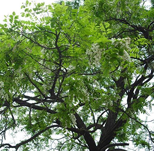 Futaba® Robinie, Robinie Leguminous Laubbäume 30 Samen