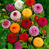 Dahlia Pompon   Pompon Dahlie Mischung   Bunte Blumen   5 Knollen