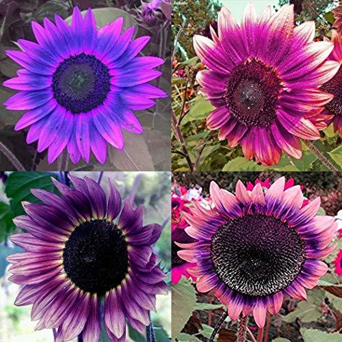 Ultrey Samenshop - 30 Stück Riesen Lila Sonnenblumen Samen Balkon-Sonnenblumen Herbstzauber Sichtschutz Zierpflanzen Samen für Garten Balkon/Terrasse
