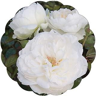 Bolero Rose Bush Reblooming White Floribunda Very Fragrant Rose Grown Organic 4