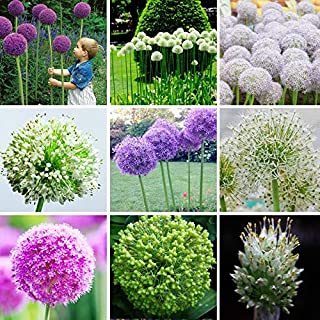 Seed Germinators Plants Indoor Flowers Hot Sale Exotic Onion Giant Allium Multicolor Balcony Potted Flowers (White Purple Green) 120PCS (Mix Color)