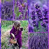 Ncient 20/ 50/ 100pcs/ Sac Graines de Lavande Bonsaï en Plein Air Purple Graines de Fleurs Jardin pour l'Intérieur et l'Extérieur (20pcs)
