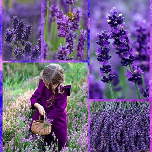 Ncient 20/50/100pcs/Sac Graines de Lavande Bonsaï en Plein Air Purple Graines de Fleurs Jardin pour l'Intérieur et l'Extérieur (100pcs)
