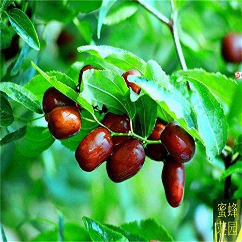 Offre spéciale Nouvelle arrivée été Exclu régulier pour Jujube semences d'épinards Ge effilé avec arbres fruitiers 20 graines (Suan zao)