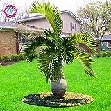 5pcs/bag cinese grandi palme tropicali sempreverdi pianta da vaso bonsai seeds.trachycarpus perenne giardino sementi di piante indoor & outdoor