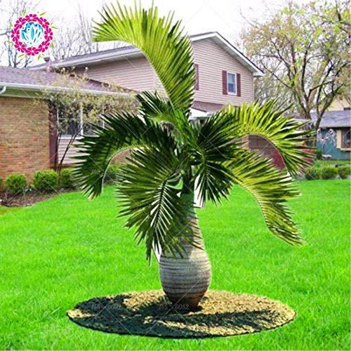 5pcs/sac tropical à feuilles persistantes chinois grande paume plante en pot seeds.Trachycarpus Bonsai jardin de plantes vivaces semences de plantes d'intérieur et extérieur
