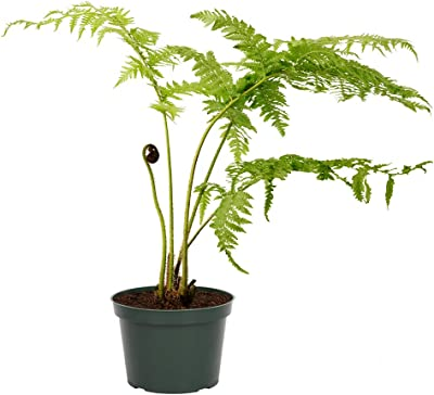 """American Plant Exchange Australian Fern Lacy Tree Live Plant, 6"""" Pot, Exotic Indoor Air Purifying Specimen"""