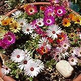 Mesembryanthemum criniflorum (Mesembriantemo) (Semente)