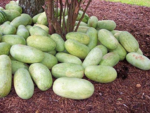 50 CHARLESTON GRAY WATERMELON Wassermelone Red Fruit Melon Seeds