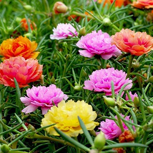 Mischfarbe Moss-Rose Purslane Doppelblumensamen 100+ Portulaca grandiflora Moss Rose Bodendecker Pflanzensamen