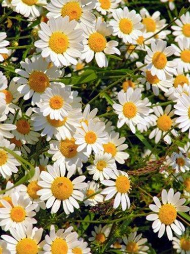 Seedeo Echte Kamille Matricaria recutita 1000 Samen