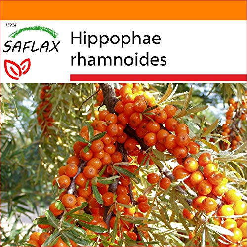SAFLAX - Jardin dans le sac - Argousier - 40 graines - Hippophae rhamnoides