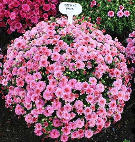 100pcs / sac couvre-sol des graines de chrysanthèmes, plante en pot graines de fleurs vivaces bonsaïs marguerite pour le jardin chrysanthème maison rouge