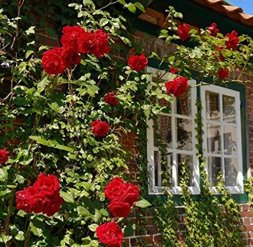 Semillas de Rosa para Jardín