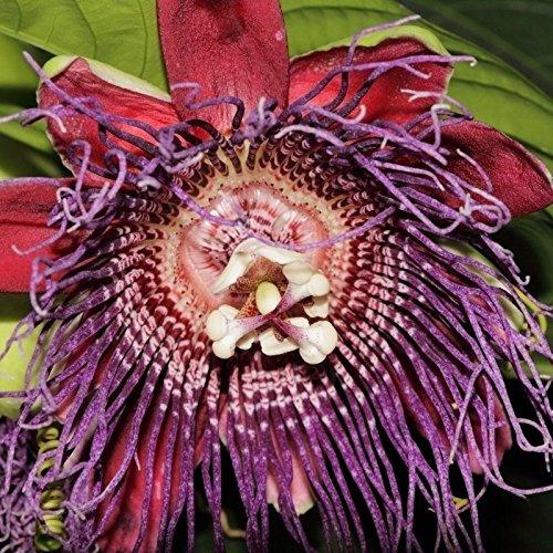 Passiflora quadrangularis - Le Barbadine - 10 graines