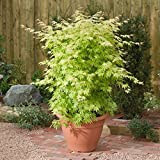 Acer Palmatum Orange Dream | Acero giapponese | Arbusto ornamentale con foglie verde-arancio | Altezza 50-60 cm | Vaso Ø 19 cm