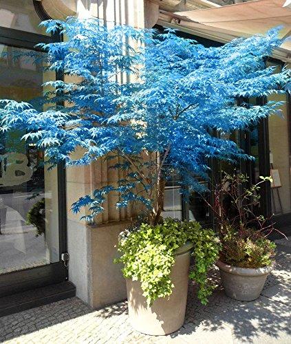 100% reale giapponese fantasma blu Acero Bonsai Semi, 10 Semi/Pack, Acer palmatum atropurpureum, Bonsai SOW TUTTO L'ANNO