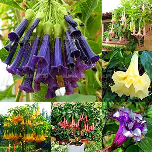 HONIC 100Pcs Brugmamsia Bonsai Mandala Blume Bonsai-Baum-Pflanzen Trompeten Engel Blumen Stramonium Garten Topfpflanze: 9
