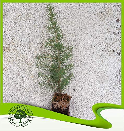 Sconosciuto libani Cedrus (Cedro del Libano) - pianta