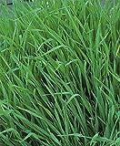AGROBITS Engrais vert - Pâturage seigle - 50 g Graine - Vegable