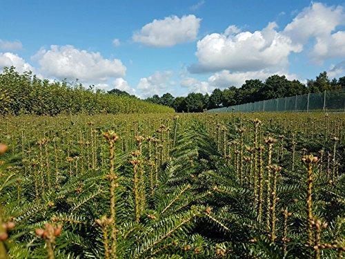 10st. Nordmanntannen 25-40cm 5j. Nordmanntanne Weihnachtsbaum Abies nordmanniana Wurzelware