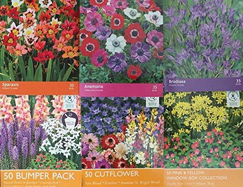 Samen-Paket Nicht Pflanzen: 35 Brodiaea: 15/35/50 Garten/Terrasse, Sommer FloweringSeeds Seed Knollen Wurzel