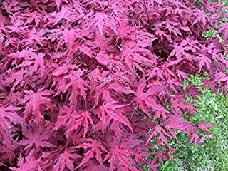 3 gallon japanese maple