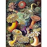 Bumblebeaver Nature Art Biology Anemone ERNS Haeckel