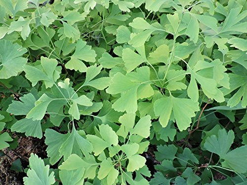 2 Stk. Ginkgobaum- Fächerblattbaum - (Ginkgo biloba)- Topf 15-25 cm