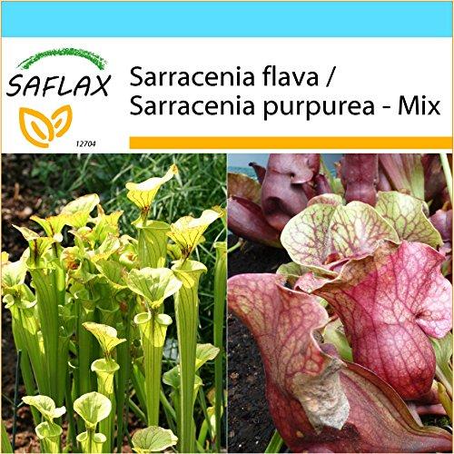 SAFLAX - Kit cadeau - Sarracénie pourpre - 10 graines - Sarracenia flava/S. purpurea - Mix