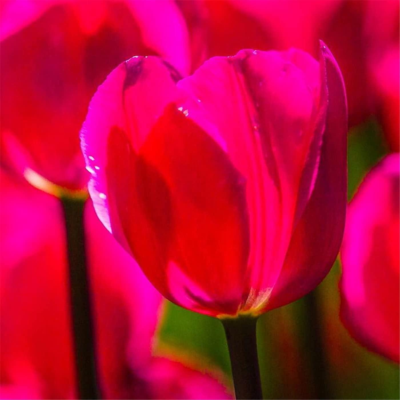 List price Glow Fairy Tulip Rhizomes-Colorful Deco Balcony Sacramento Mall Goddess Historic