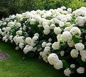 Annabelle Smooth Hydrangea - Live Plant - Trade Gallon Pot
