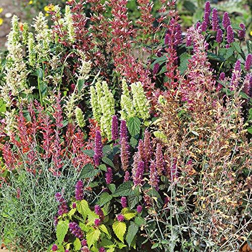 30 Seeds Perennial Agastache Fragrant Delight Flower Mix #SBSTM