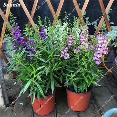 Happy Farm gypsophile Etoiles Sky Seed Hybrids Flower Seed jardin décoratif Aménagement paysager, Plante vivace Fleur 150 Pcs 1