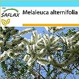 SAFLAX - Set regalo - Árbol del té - 400 semillas - Con caja regalo/envío, etiqueta para envío, tarjeta de felicitación y sustrato de cultivo y fertilizante - Melaleuca alternifolia