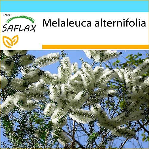 SAFLAX - Geschenk Set - Australischer Teebaum - 400 Samen - Mit Geschenk- / Versandbox, Versandaufkleber, Geschenkkarte und Anzuchtsubstrat - Melaleuca alternifolia