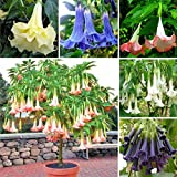 obiqngwi 100Pcs Colore misto Semi di Datura Stramonium Fiore di Jimsonweed Decorazioni per bonsai da giardino - Semi di Datura Stramonium