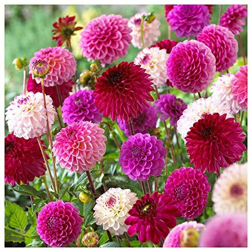 Plant & Bloom Dahlia Blumenzwiebeln Mix aus Holland, 3 Blumenzwiebeln - Einfach zu züchtende Pompon- und Ball-Dahlienknollen für die Frühlingspflanzung in Ihrem Garten - weiße, rosa, rote Blüten