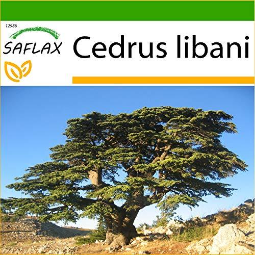 SAFLAX - Cèdre du Liban - 20 graines - Avec substrat - Cedrus libani