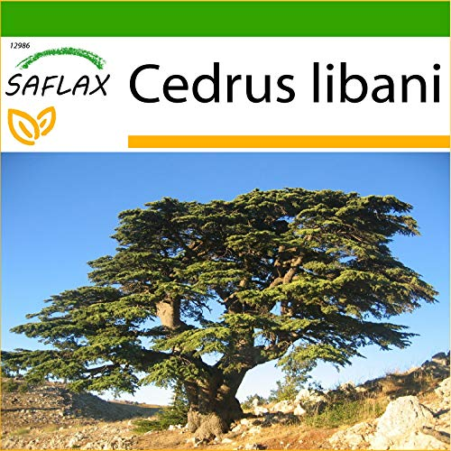 SAFLAX - Libanon - Zeder - 20 Samen - Mit keimfreiem Anzuchtsubstrat - Cedrus libani