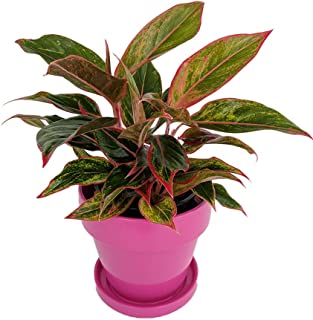 Siam Chinese Evergreen in Hot Pink Ceramic Pot/Saucer with Felt Feet