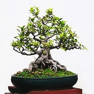 20pcs Bodhi Tree Seeds - Ficus Religiosa - Sacred Fig Bonsai - Easy-Care Houseplant