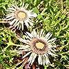Stemless Carline Thistle, semi di sangue di arenaria - Carlina acaulis #2