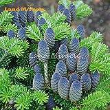Las semillas raras Coreano azul del abeto del árbol de cedro, 10 semillas / paquete, plata árbol de abeto resistente a las enfermedades perenne planta resistente