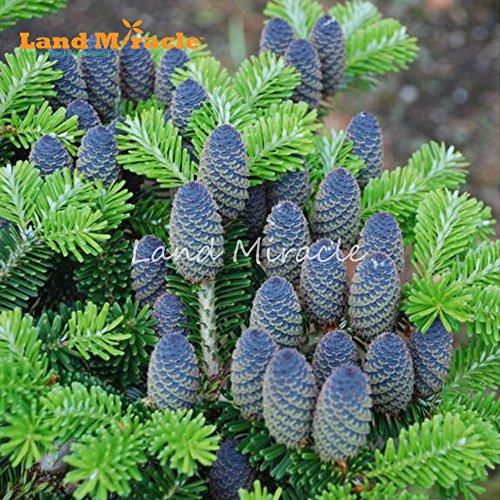 Rare Bleu coréenne Sapin CEDAR TREE graines, 10 graines/Pack, argent arbre résistant aux maladies du sapin plante vivace rustique