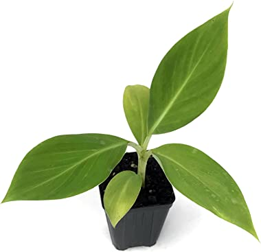 Dwarf Cavendish Banana Tree Live Plant - Musa