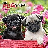 Pug Puppies - Mopswelpen 2020 - 16-Monatskalender mit freier DogDays-App: Original BrownTrout-Kalender [Mehrsprachig] [Kalender] (Wall-Kalender) - BrownTrout Publisher