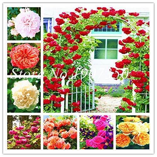 Kalash New 100pcs Rose Blumensamen für Garten Mixed 1