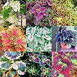 10 colori: # 01, # 02, # 03, # 04, # 05, # 06, # 07, # 08, # 09, # 10 Clima: temperato Periodo di piena fioritura: primavera, inverno Quantità: 100 pezzi / borsa Cerca nel nostro negozio più semi di diversi tipi. Bienveniad!