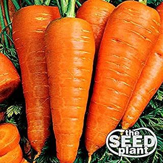 Danvers Half Long Carrot Seeds - 1000 SEEDS NON-GMO